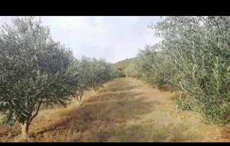 Maslinovo ulje-veće količine