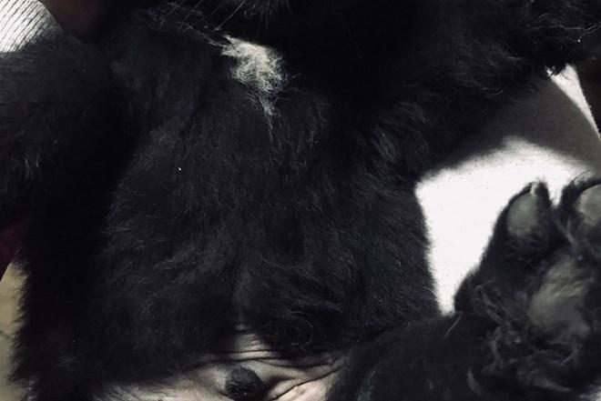 Newfoundland štenci