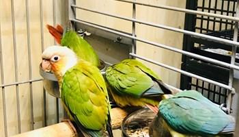 Imamo prekrasan izbor Parrot conure je sve bebe u dobi od 12 do 14