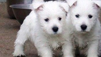 (West Highland White Terrier) Zapadnoškolski bijeli terijer Štenad ......... moj e-mail ............ danielahudson12@gmail.com