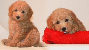 Pudlica igračka psići .... moj e-mail ................fr5221700@gmail.com