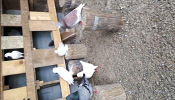 Prodajem golubove povoljno