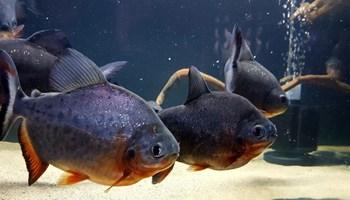 Piranhe 12-15cm