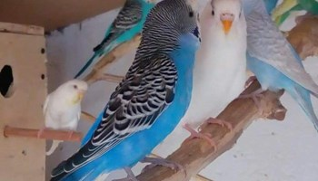 Prodajem mlade papigice TIGRICE