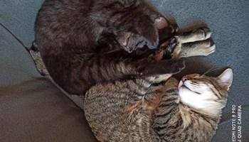 Poklanjam 2 prekrasna mačića