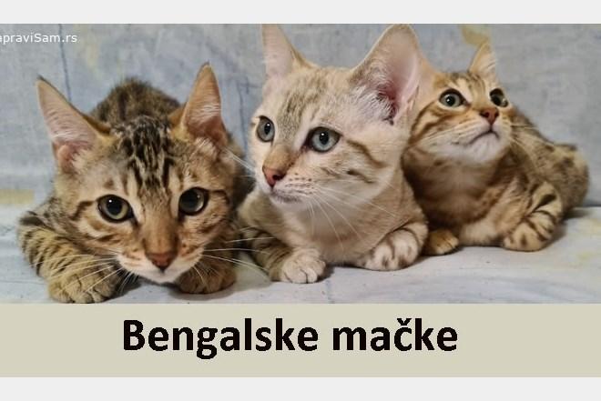 bengalska macke