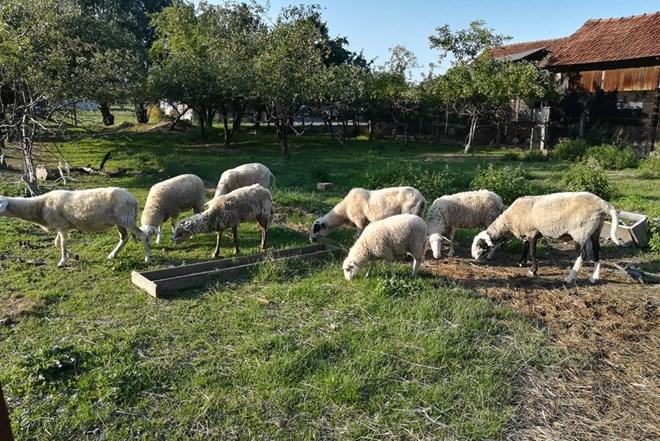 Prodaja ovca