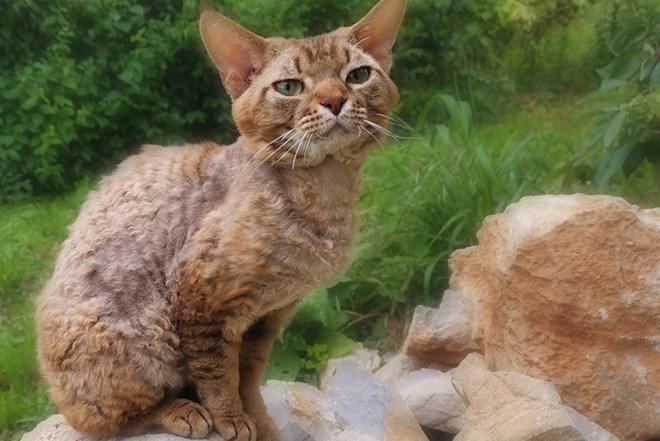 Devon Rex mačke prodajem