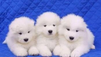 Prekrasni štenci samojeda