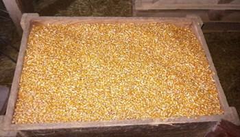 Kukuruz u zrnu - prodaje se