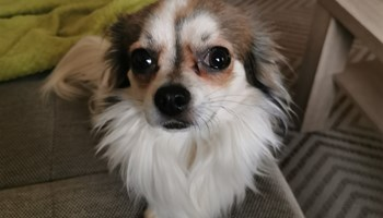 Chihuahua-parenje