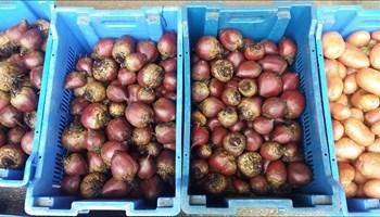 Cikla i krumpir sa vlastitog OPG-a - DOSTAVA 3 kn/kg