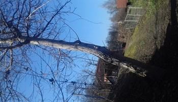 Orah drvo