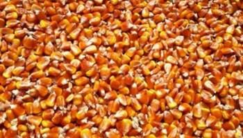 Prodajem kukuruz u zrnu