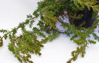 Puzajuća plava borovica (Juniperus horizontalis blue chip)