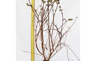 Sibirska borovnica