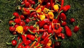 Sjeme ljutih paprika (berba 2020.) BESPLATNA DOSTAVA! (čili papričice,chilli, hot peppers,habanero,tabasco,cherry)