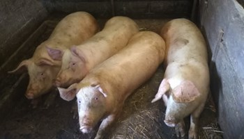 svinje 12kn