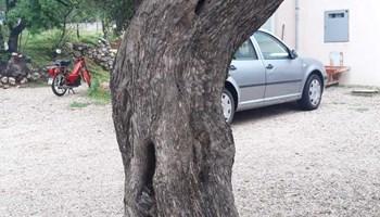 Stabla Masline stara 150 godina i vise