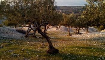 Domaće maslinovo ulje s otoka Brača