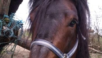 Konj posavac