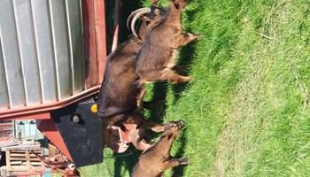 Koza alpina i jariči povoljno