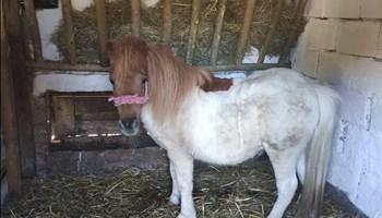Pony konj