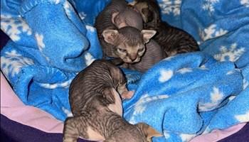 Sphynx mačići
