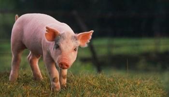 Prodajem hranu za tov svinja