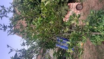 Stablo limuna akcija