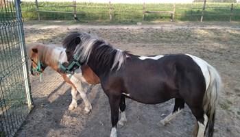 Pony konji