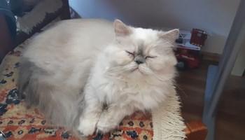 Perzijska macka trazi decka