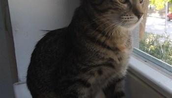 Mačkica Dragica za udomljavanje