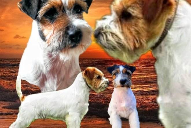 Stenci Jack Russell Terrier ostrodlaki